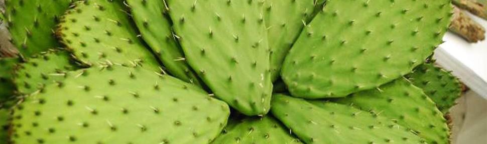 Nopales poseen efecto protector contra rayos UV