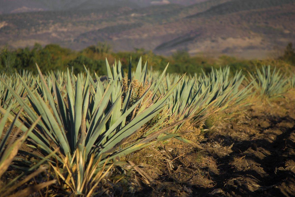 Morelos obtiene Denominación de Origen para el Mezcal
